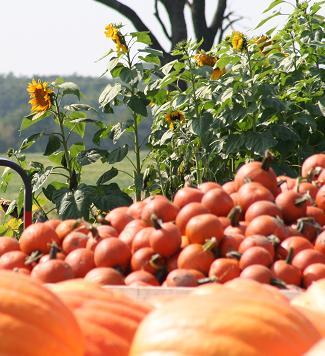 20090918-pumpkins.JPG